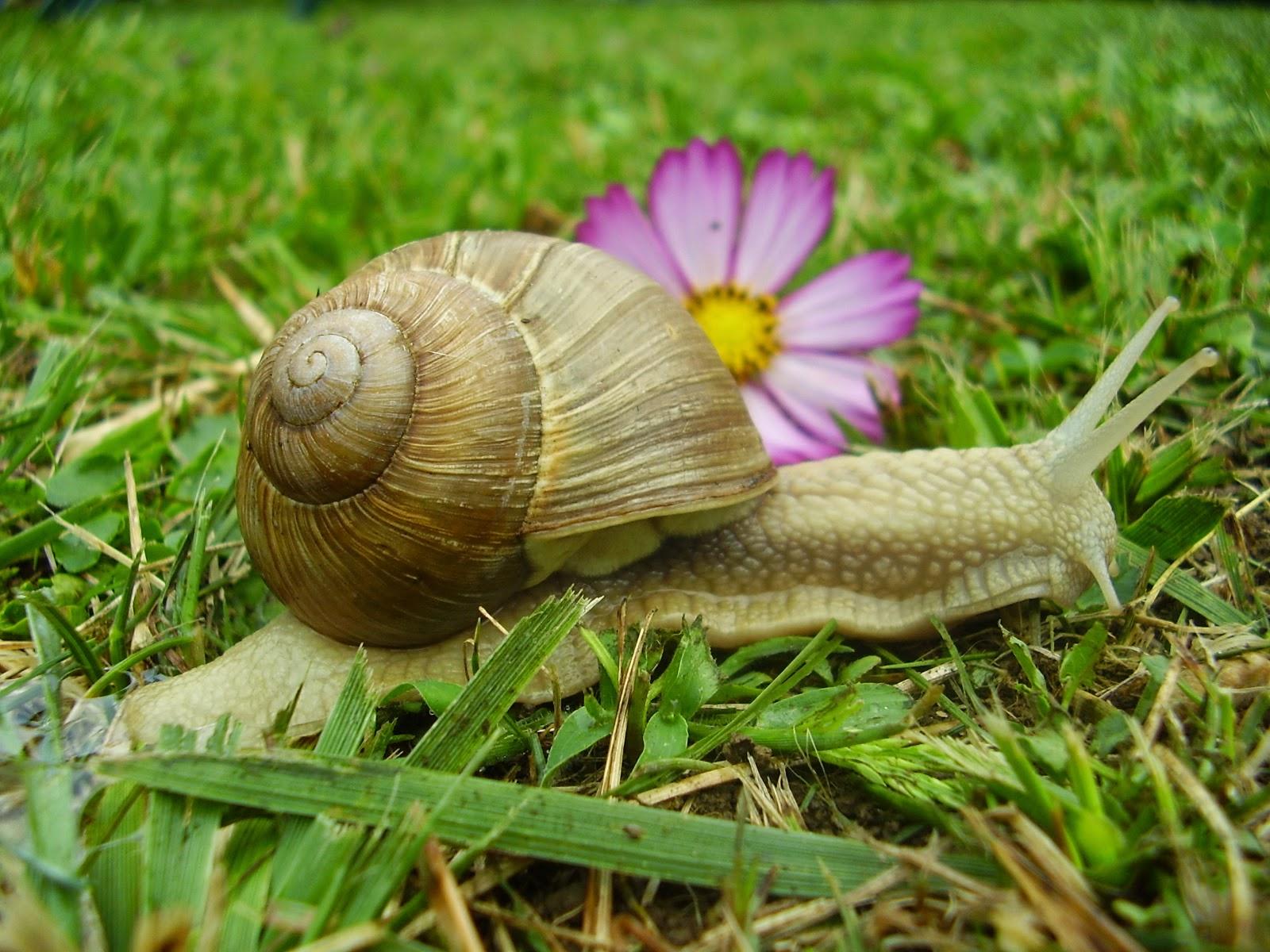 Club gastronomique prosper montagn par alain kritchmar vous aimez les escargots - La maison des escargots ...