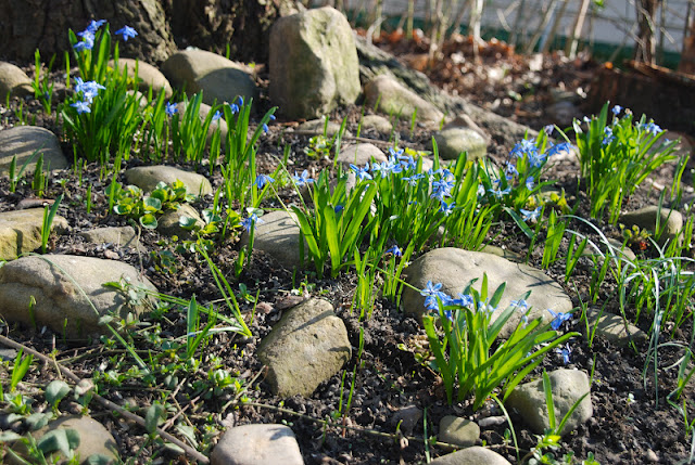 Scilla siberica popping up in March in our zone 5 garden. Their seedlings look like tiny chives or piece of grass until they mature. Do not pluck them out, least you cast off your reward!
