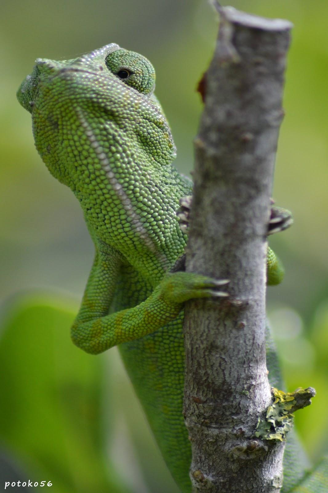 Un Camaleón Roteño Jardin Botánico