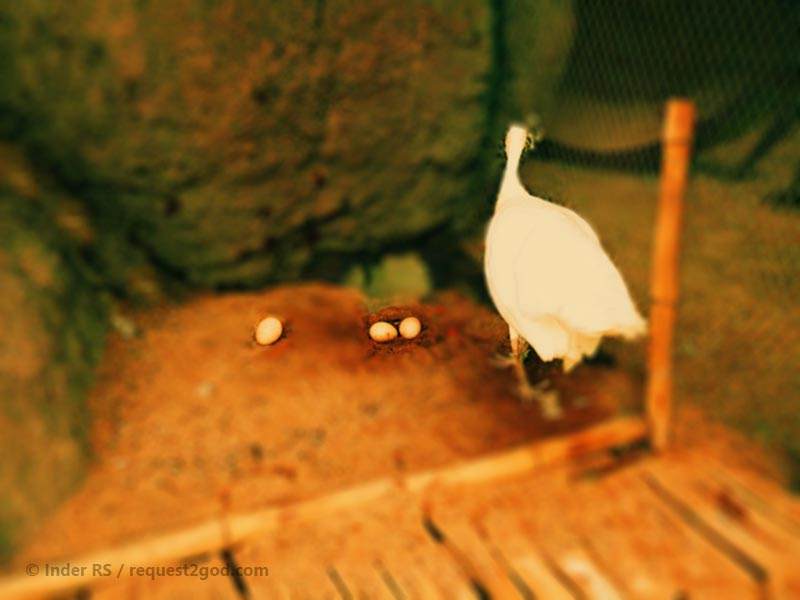 white peahen with eggs