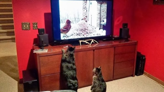 Funny cats - part 85 (40 pics + 10 gifs), cats watching bird on television
