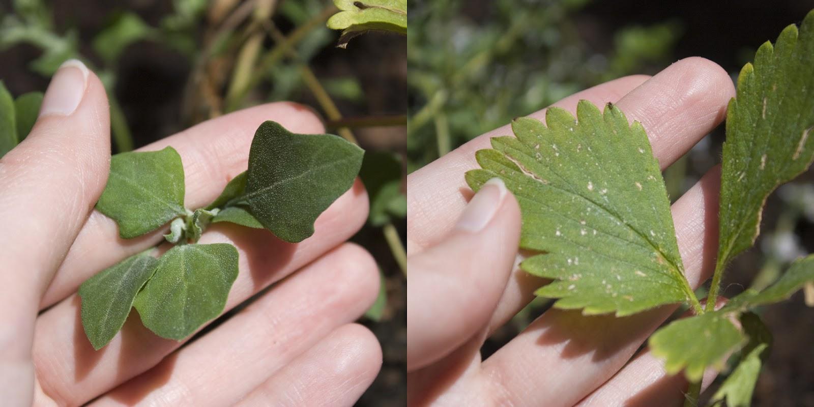 comparación hojas de planta de fresa con hojas de mala hierba