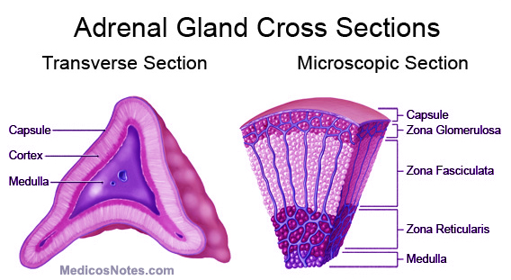 Adrenal gland - Functional anatomy