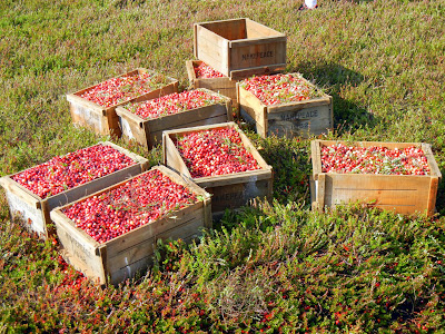 Wooden crates filled with freshly picked cranberries