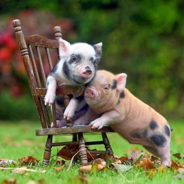 baby-pigs