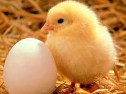 Tips supaya ternak ayam bisa cepat besar dan sehat