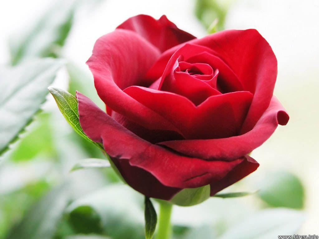 http://1.bp.blogspot.com/-evsaRb99_Cw/TodsOAxerdI/AAAAAAAAAHk/qFi8cYI7MJ8/s1600/beautiful+red+roses+wallpapers+3.jpg