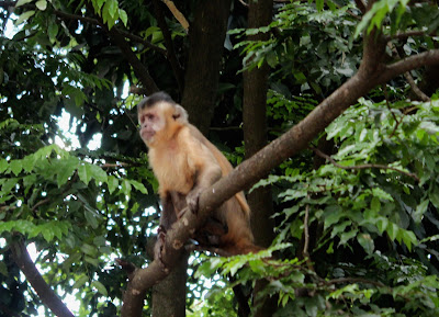 Macaco-prego - Parque Areião,  uma reserva de mata preservada.