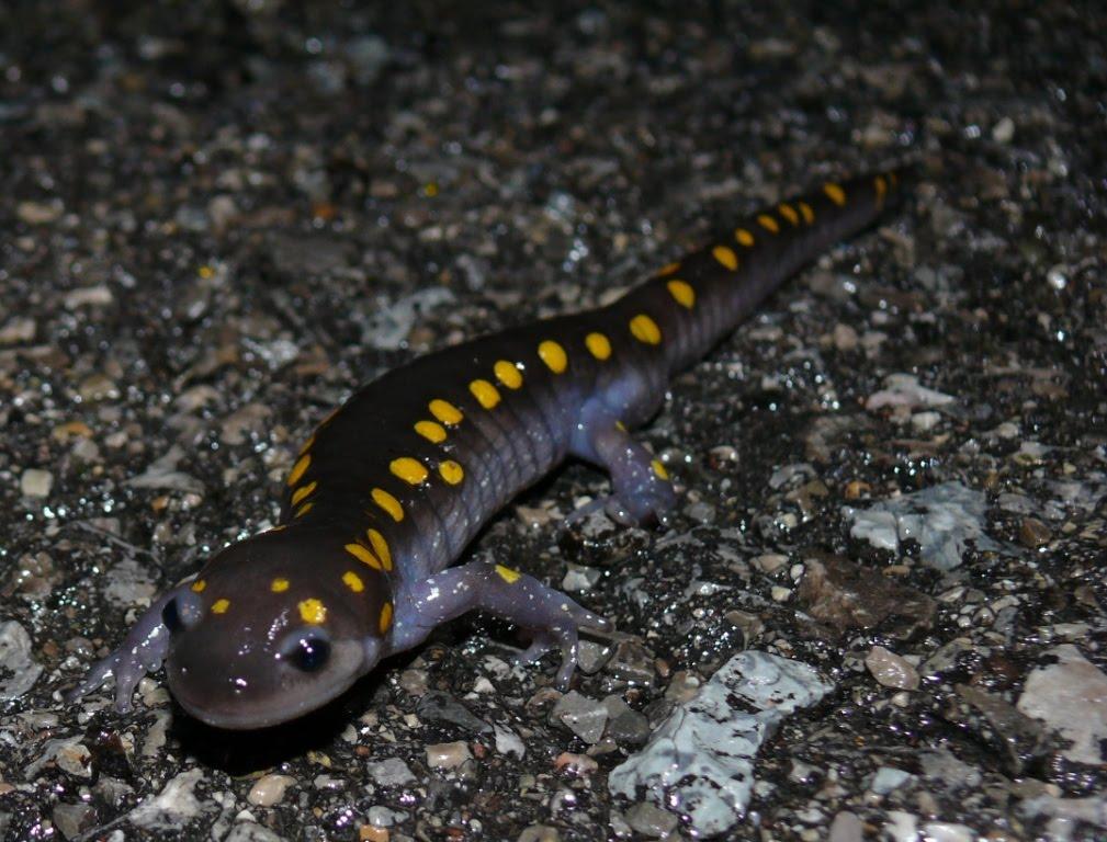 Unisexual mole salamanders in ga