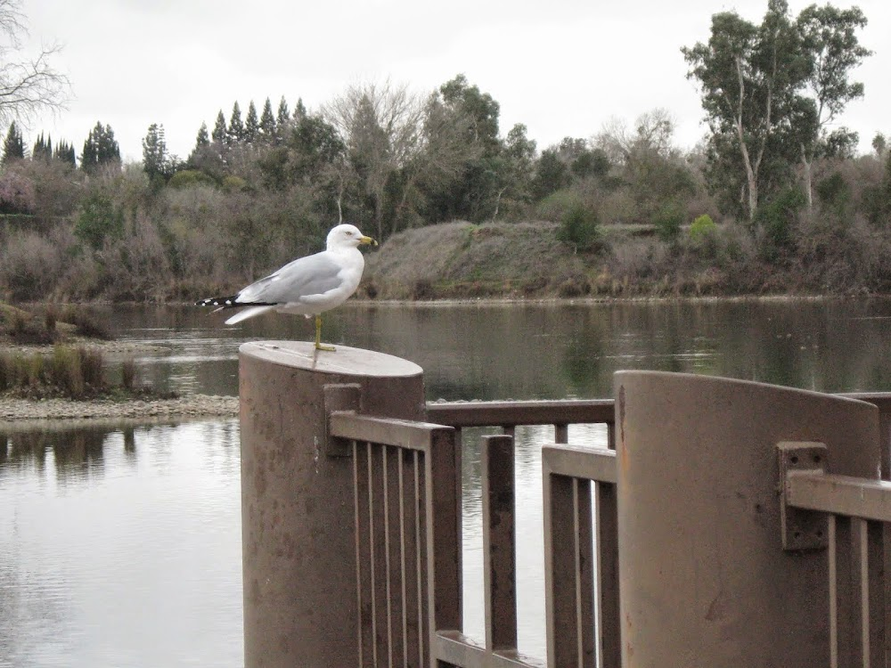 The Sacramento River--A Blog