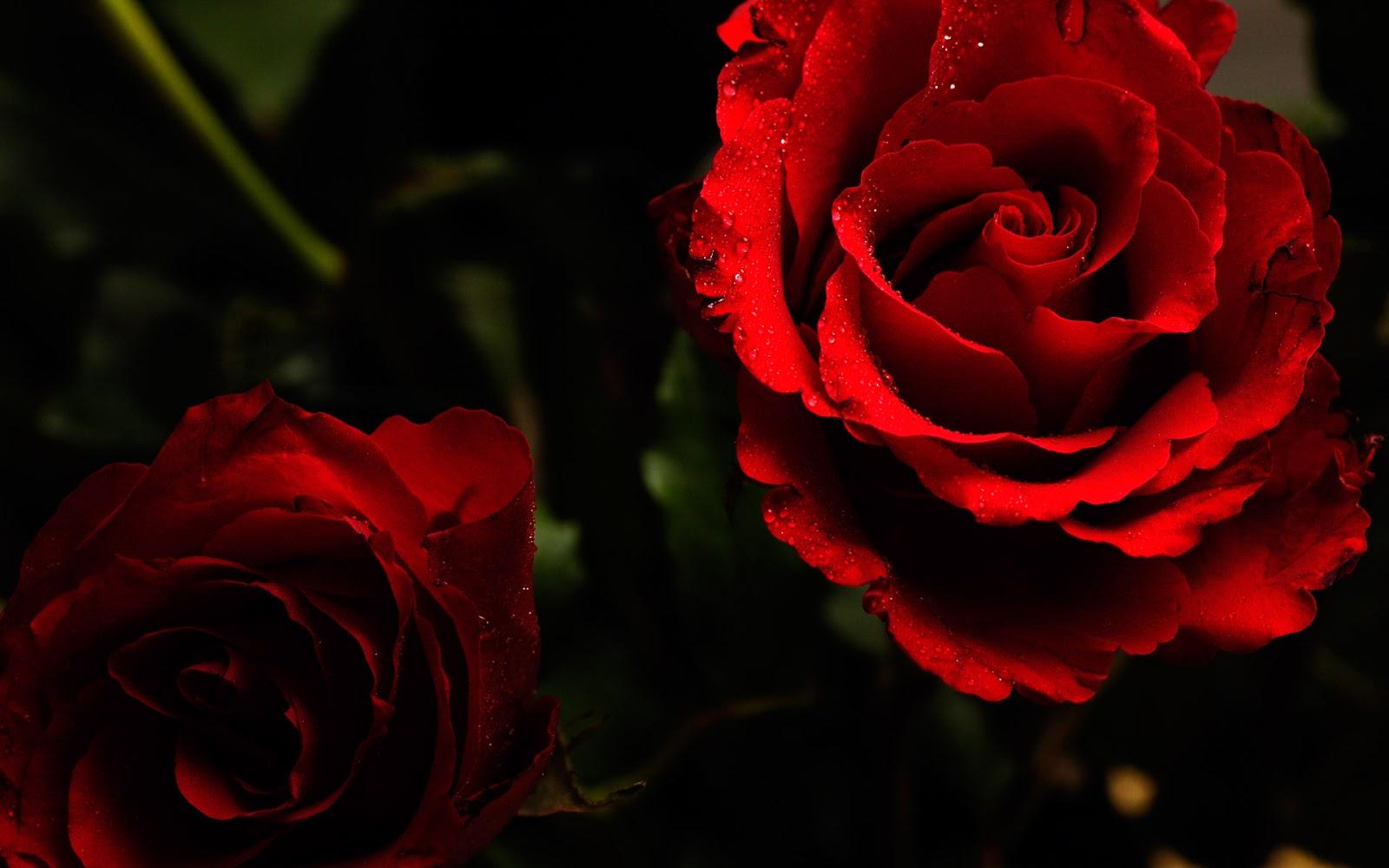 HD Rose Flower Photo