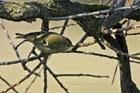 41f. Leaf Warblers