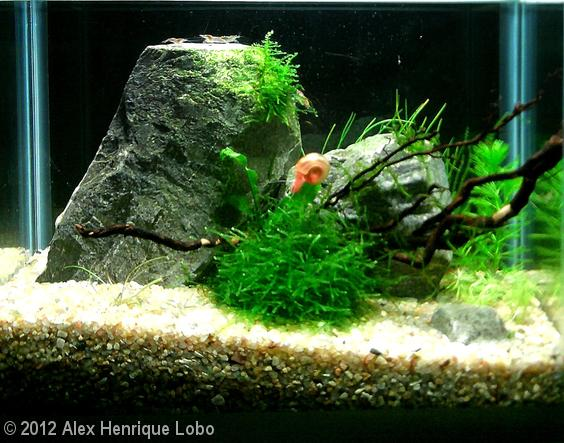 AGA - Alex Henrique Lobo 8L Aquatic Garden: Silver Rock's