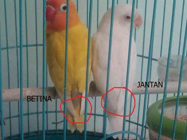 Ciri Burung Lovebird Betina Dan Jantan Dari Sayap