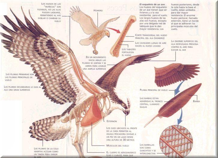 Mascotas-Dcg: ¿Sabías que los huesos de las aves son huecos?