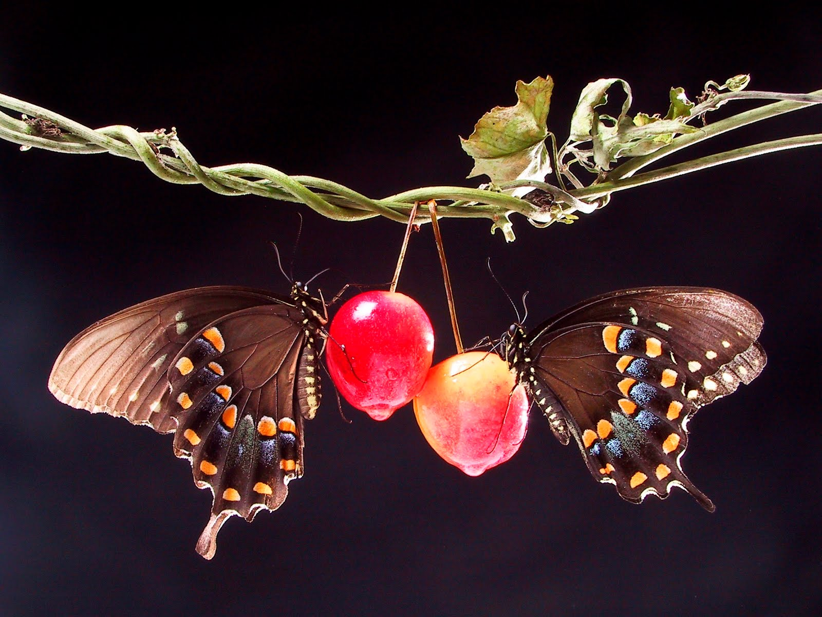 Two Butterflies in Love Wallpaper