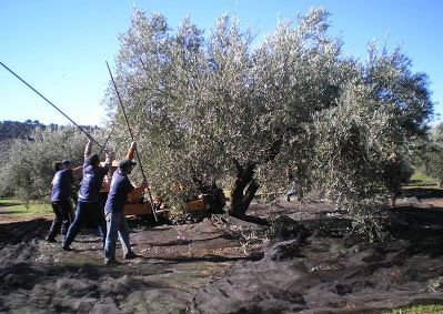 the same kind of olive picking today