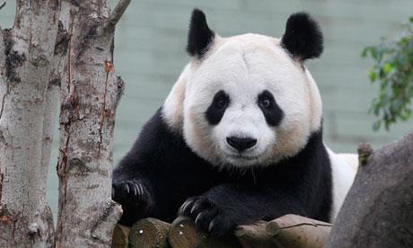 Pregnent Giant Panda Tian-Tian