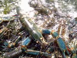 Cara Budidaya Lobster Air Tawar