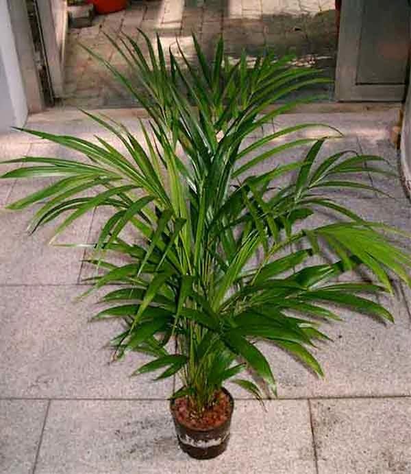Peces y plantas ornamentales dypsis lutescens areca for Plantas ornamentales de exterior