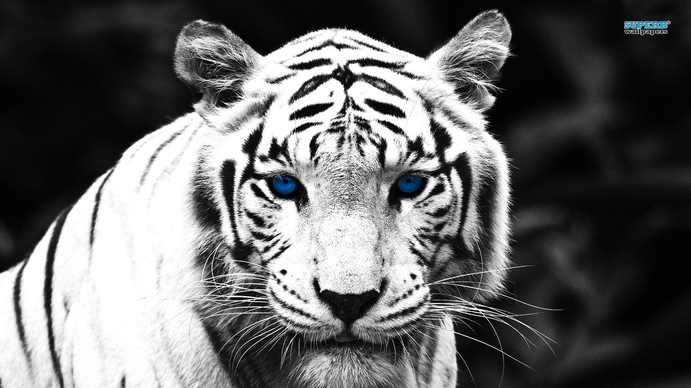http://1.bp.blogspot.com/-f-14SPa_0R8/UBVVLgEQtgI/AAAAAAAAAIc/V5CPTgI-M6c/s1600/Harimau+Putih.jpg