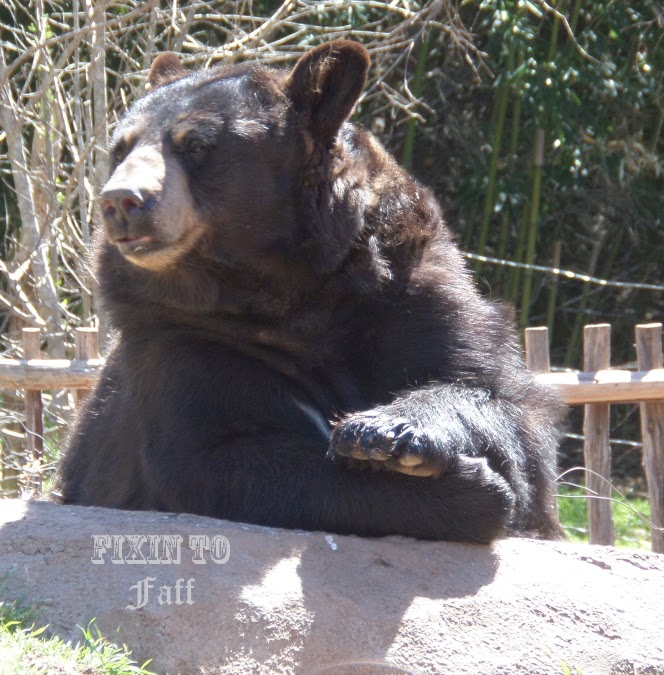 Cameron Park Zoo Black Bear