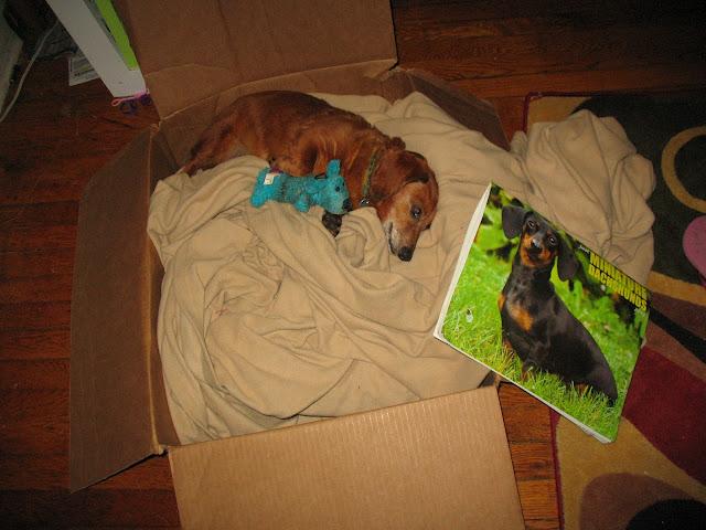 dachshund sleeping with calender