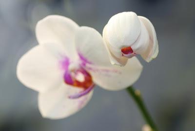 Phalaenopsis flower