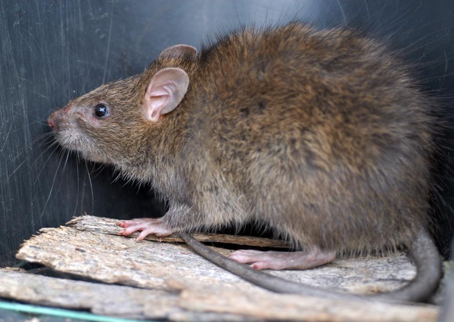 鬼鼠、大鬼鼠、山河
