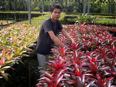 Jual Tanaman Pohon Bromelia   Pohon Pelindung   Tanaman hias   Tukang Taman   Tukang Pohon Di Jakarta Barat, Pusat, Jakarta Selatan, Timur, Dan Jabodetabek