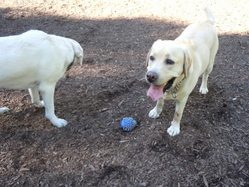 Labradors at West Hollywood Dog Park