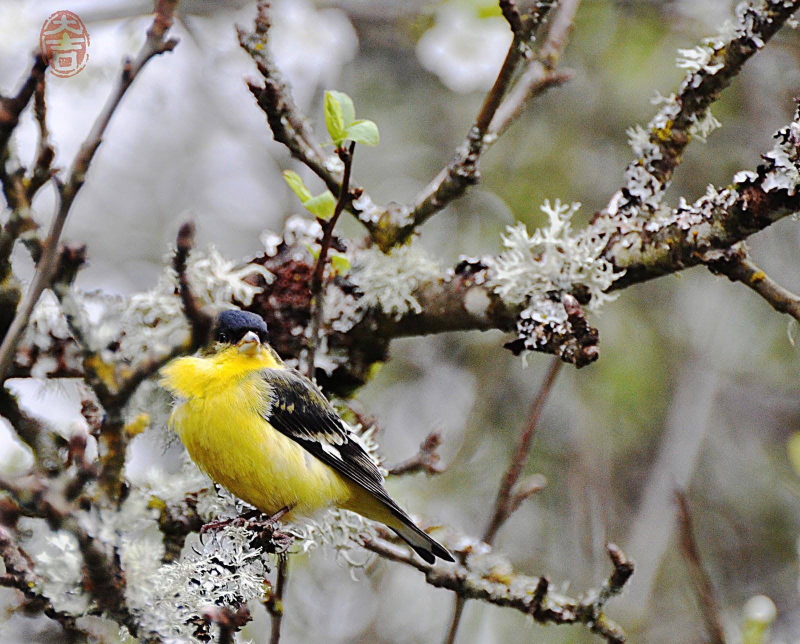 oregon backyard birds etc lesser goldfinch