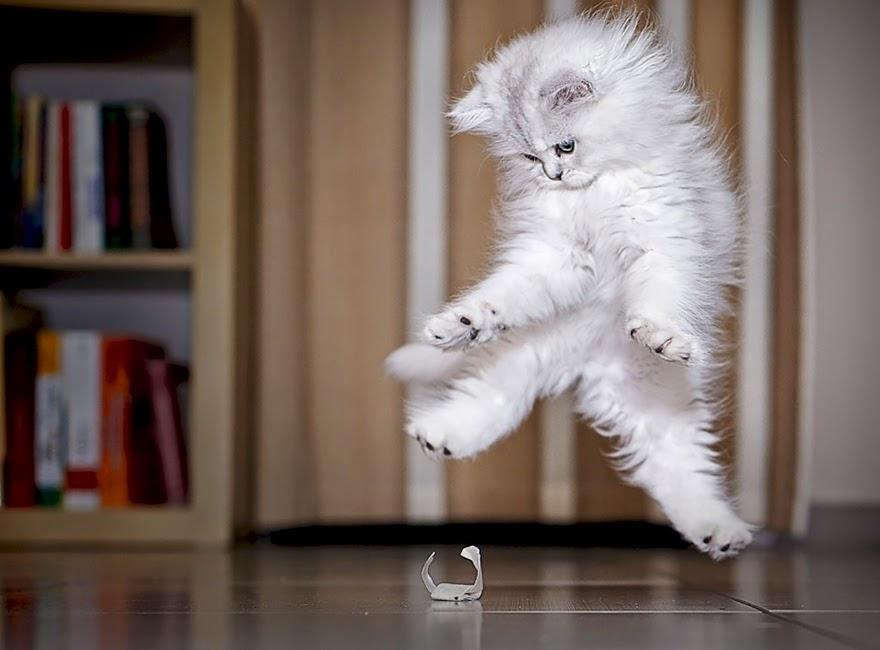 очень пушистый котик прыгает ниже среднего