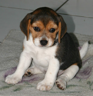 beagle pets dog information puppy breeds