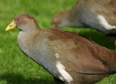Tasmanian Native-hen (Tribonyx mortierii)