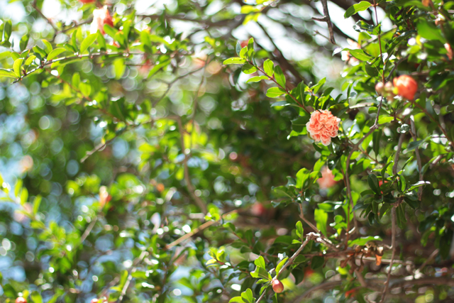 pomegranate blooming