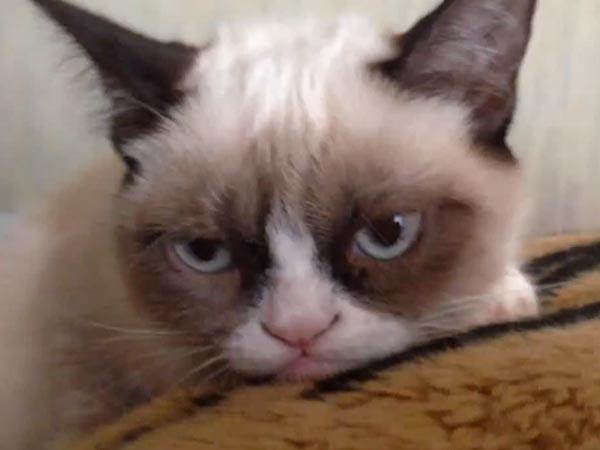 Asam Garam Kehidupan Muka Kucing Paling Ketat Pemarah Di