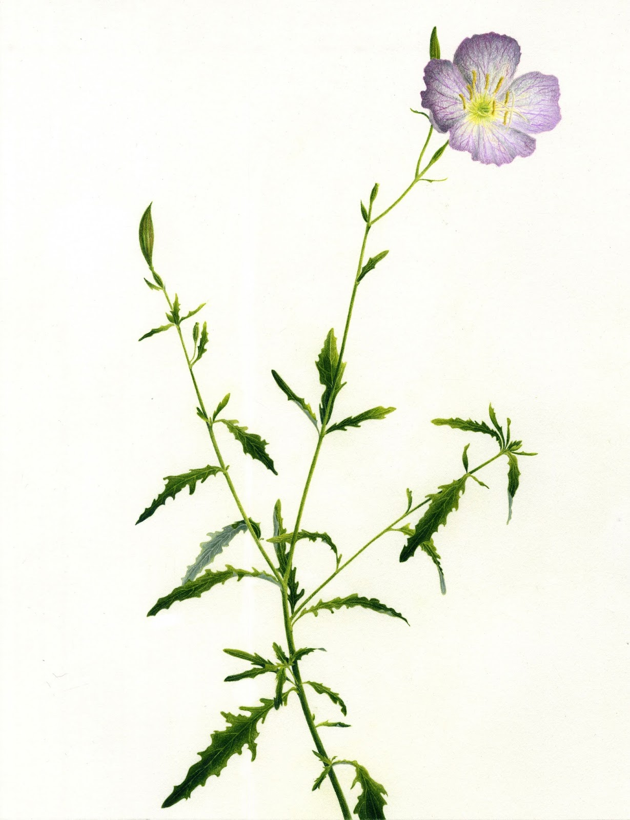 Allison K. Walker Art & Illustration: Evening Primrose ...