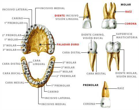 Corona dental: Definicin Corona dental - Doctissimo