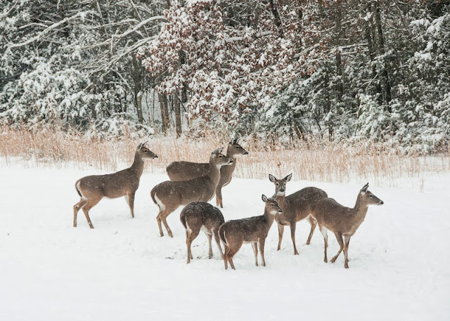 Eastern Whitetail Deer in Snow