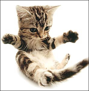 american shorthair cat animal cute little cats