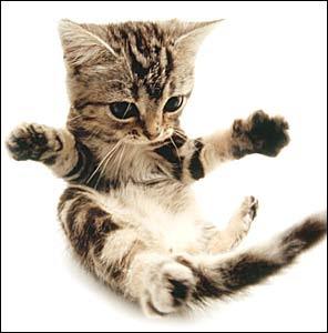 American shorthair cat animal cute little cats