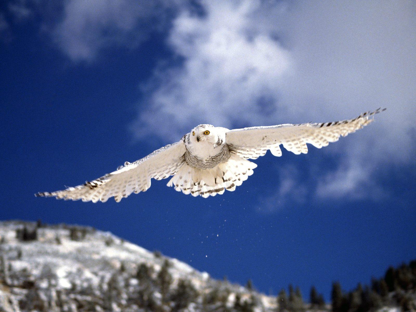 owl winter bird animal - photo #29