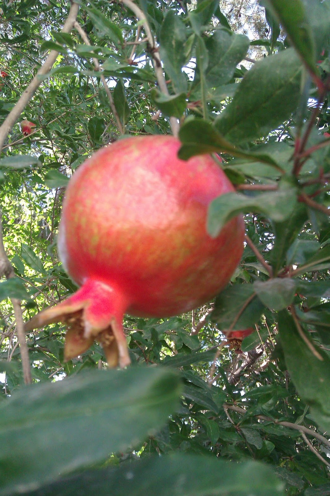 Is There Biking In Jerusalem Fruit Of The Month Pomegranate
