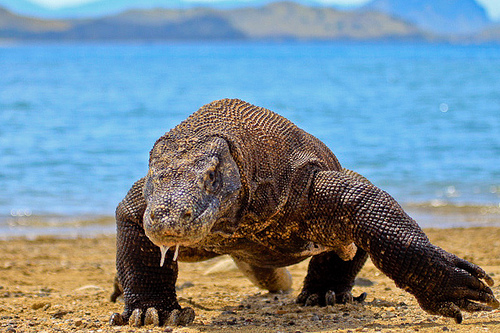 There is also dugong, sharks, manta-rays, at least 14 species of whales, dolphins, and sea turtles that call Komodo National Park Home. Komodo Dragon