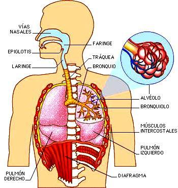 Imagen del Aparato respiratorio señalando los componentes que lo conforman