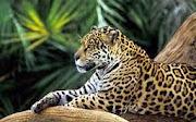 Medicina da Amazônia
