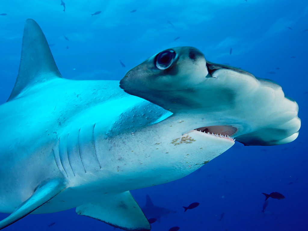 Hammerhead shark - photo#1