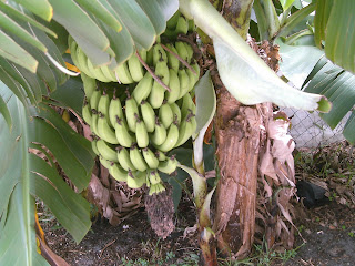 My Edible Yard Urban Homestead - Janis Keller's apple bananas