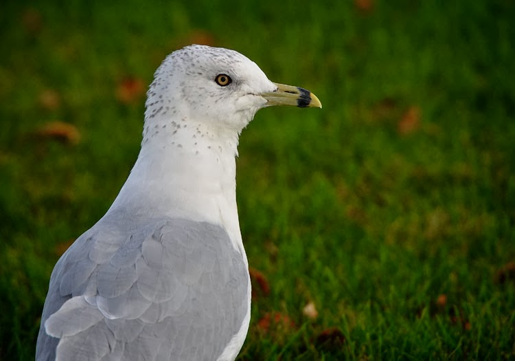 Ring-billed Gulls have pale yellow eyes rimmed in black. They also have pale yellow legs.